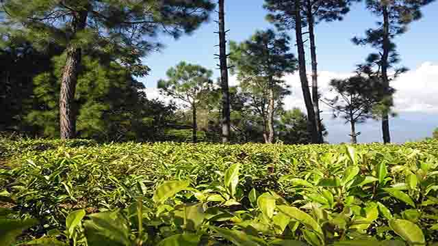 Tea plantation below Kausan